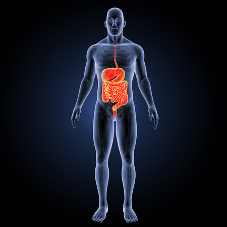 Human Digestive system with skeleton anterior view Stock Photo