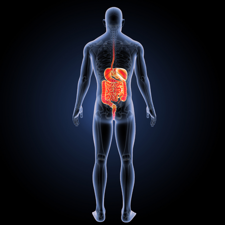 Digestive system with skeleton posterior view Stock Photo