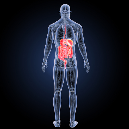 Human Digestive system with anatomy posterior view Stock Photo