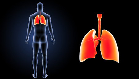 lateral view: Human Lungs zoom with body posterior view