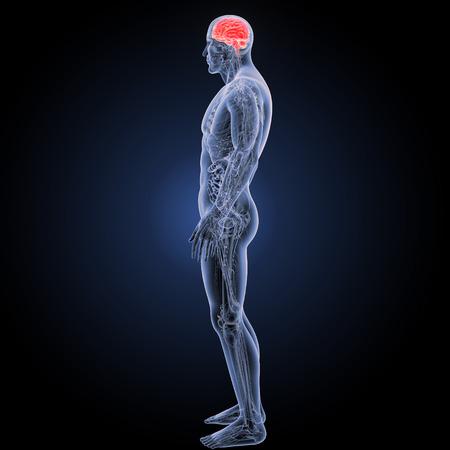 Menselijk brein met volledig anatomisch zijaanzicht Stockfoto