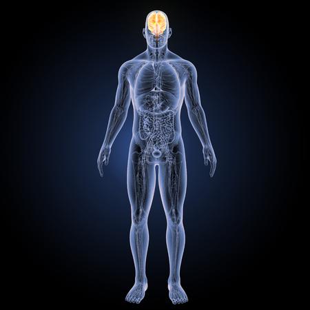 Menselijk brein met volledige anatomie vooraanzicht