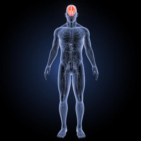 순환 시스템 전방보기 인간의 두뇌 스톡 콘텐츠
