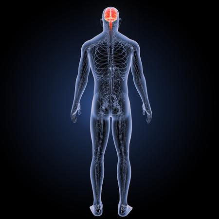 순환계 후방보기가있는 인간 뇌