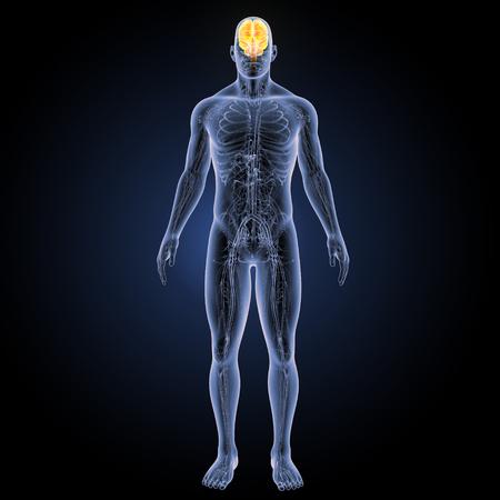 Human Brain anterior view Stock Photo