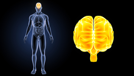 anterior: Human Brain anterior view Stock Photo