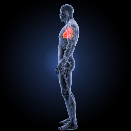 Human Heart lateral view Stock Photo