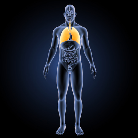 Human Lungs with organs Stock Photo