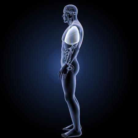 alveolos: Pulmones humanos vista lateral