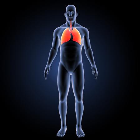 alveolos: Pulmones Humanos vista anterior
