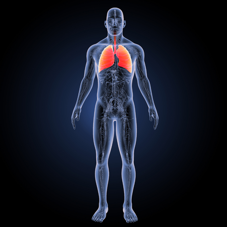 anterior: Human Lungs anterior view