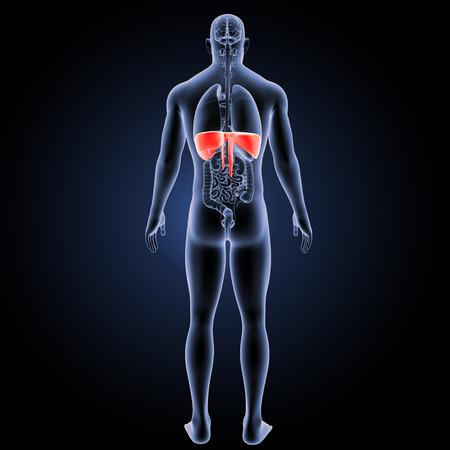 Diaphragm posterior view Stock Photo