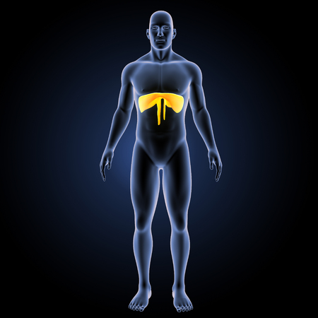 Diaphragm anterior view Stock Photo