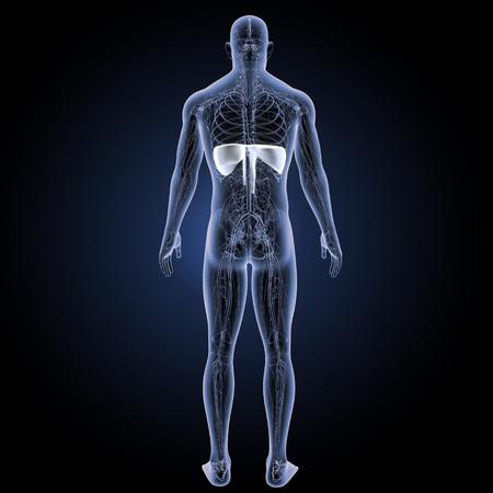 Diaphragm Posterior view