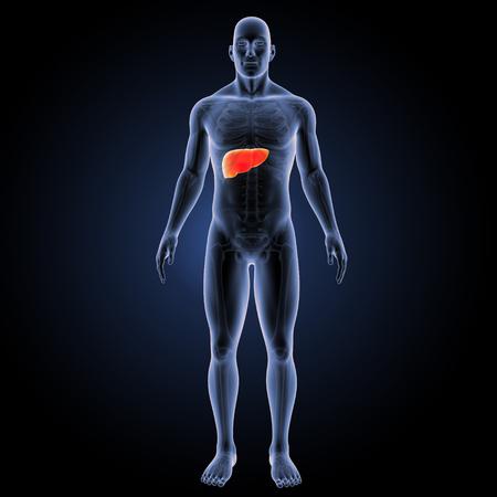 Human Liver anterior view