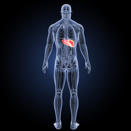 Human Liver posterior view Stock Photo