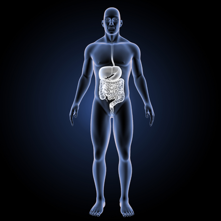 colon: Digestive system anterior view
