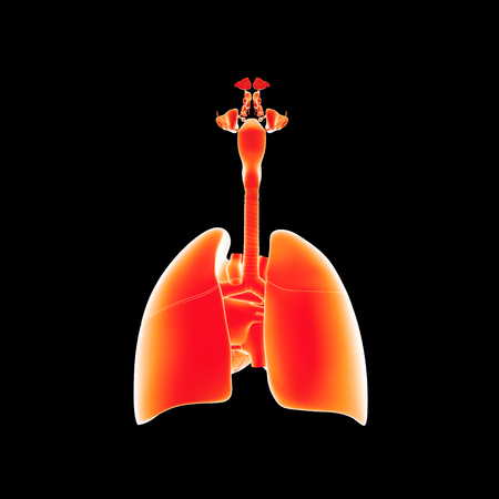 Lungs with heart posterior view