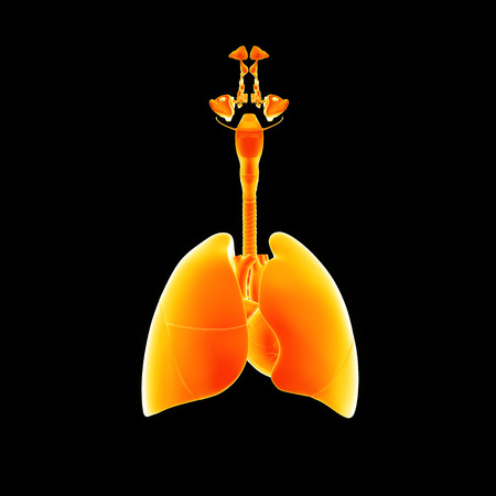 Lungs with heart anterior view