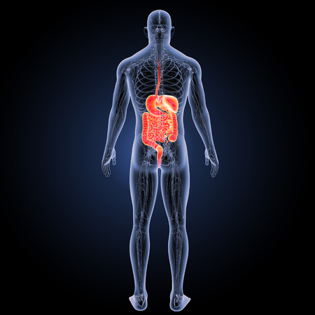 digestive: Digestive system posterior view