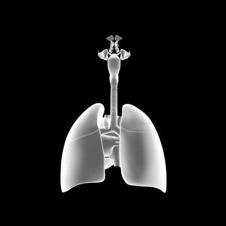 frontal view: Lungs with heart posterior view