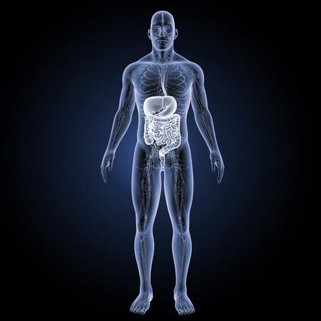 large intestine: Digestive system anterior view