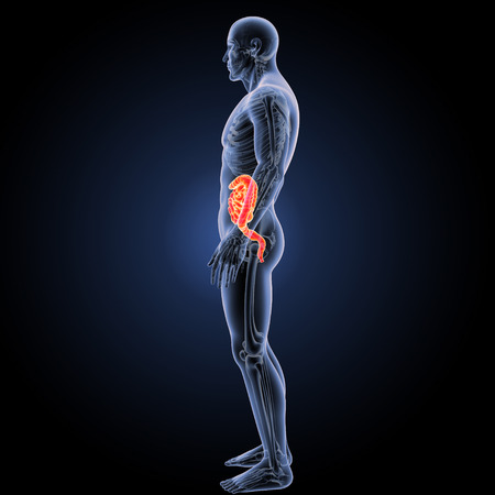 esophagus: Small and large intestine lateral view Stock Photo