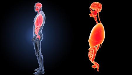 Vista lateral de los órganos humanos Foto de archivo