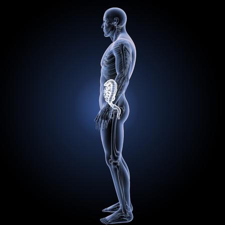 esofago: Vista lateral del intestino grueso y delgado