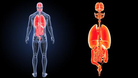 Human organs posterior view