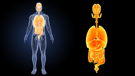 Human organs anterior view