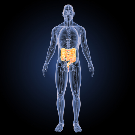 esofago: Vista anterior del intestino grueso y delgado Foto de archivo
