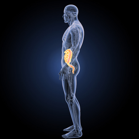 large intestine: Small and large intestine lateral view Stock Photo
