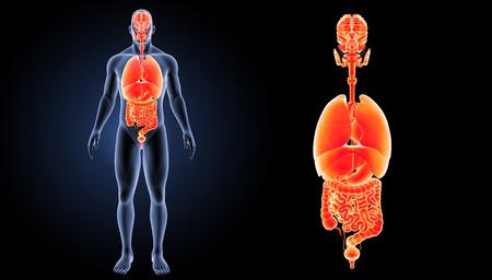 anterior: Human organs anterior view