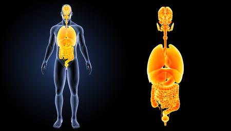 Human organs lateral view