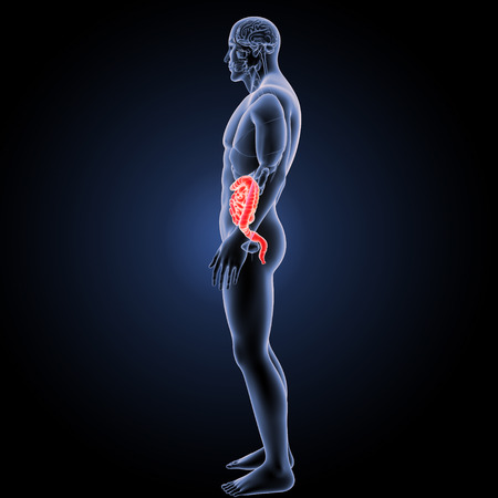 jejunum: Small and large intestine lateral view Stock Photo