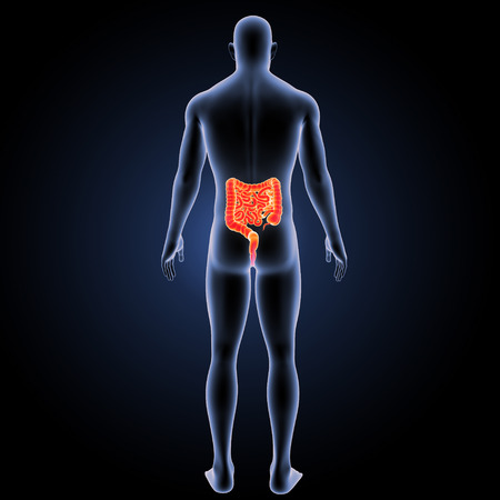 Small and large intestine posterior view
