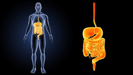 intestino grueso: Vista anterior del sistema digestivo Foto de archivo