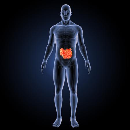 anterior: Small intestine anterior view Stock Photo