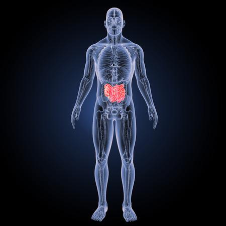 ileum: Small intestine anterior view Stock Photo