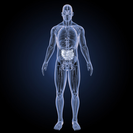 Vista anterior del intestino delgado