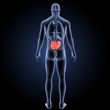 Small intestine posterior view