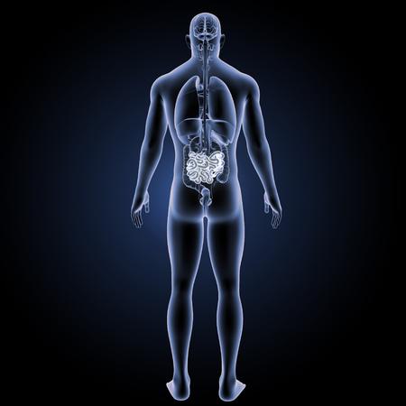 ileum: Small intestine posterior view