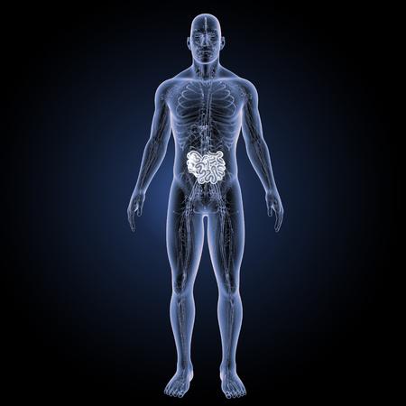 Small intestine anterior view Stock Photo