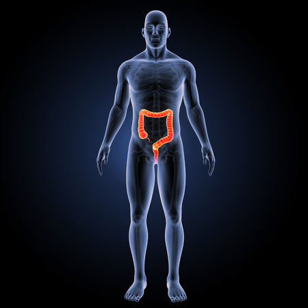 Large intestine anterior view Stock Photo