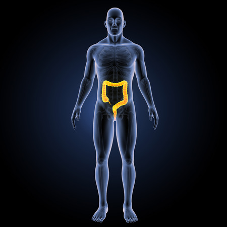 anterior: Large intestine anterior view Stock Photo