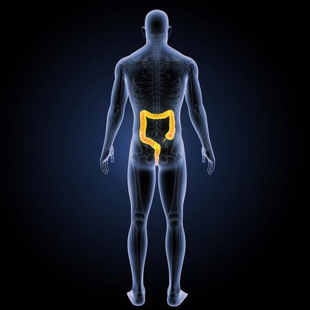 descending colon: Large intestine posterior view