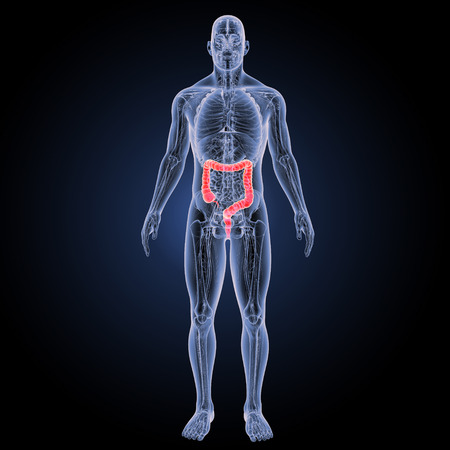 Large intestine anterior view 스톡 콘텐츠