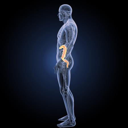 descending colon: Large intestine lateral view Stock Photo