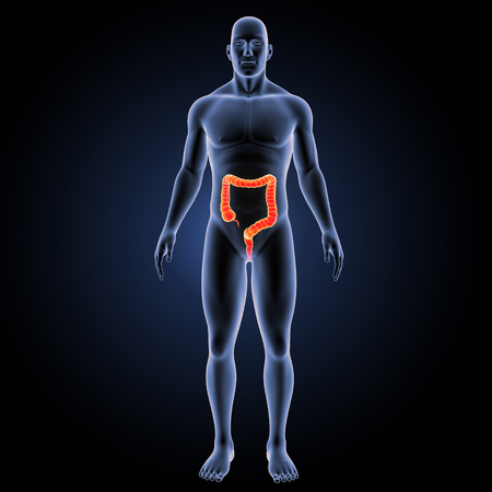 descending colon: Large intestine anterior view Stock Photo